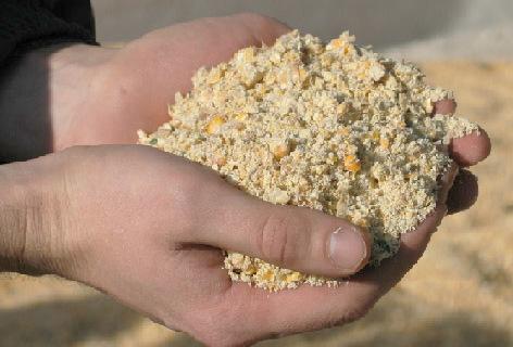 Сухая молотая или влажная консервированная?{amp}lt;br{amp}gt;Какая кукуруза эффективнее и рентабельнее при кормлении КРС